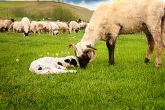 Agneau de bébé et moutons mignons de mère Photo libre de droits