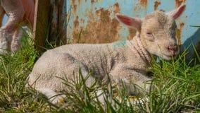Agneau de bébé se situant dans l'herbe Photos stock