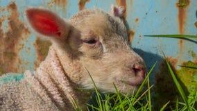 Agneau de bébé se situant dans l'herbe Photo stock