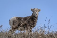 Agneau de Bighorn Image libre de droits