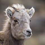 Agneau de mouflons d'Amérique de chéri Photos libres de droits