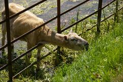 Agneau de Shawn mangeant l'herbe par la barrière Photos stock