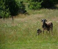 Agneau et moutons Photo libre de droits