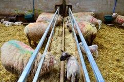 Agneau et moutons dans la ferme Photo stock