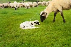Agneau et moutons dans le pré Images libres de droits