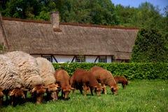Agneau et moutons nouveau-nés dans le pré. Image stock