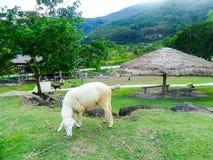 Agneau mangeant l'herbe verte dans la ferme Images libres de droits