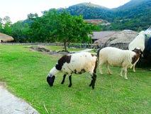 Agneau mangeant l'herbe verte dans la ferme Images stock
