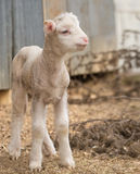 Agneau mignon à la ferme Photo libre de droits