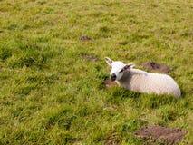 Agneau mignon de ressort se reposant sur le champ d'herbe au printemps Image stock