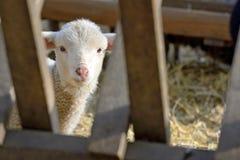 Agneau nouveau-né à la ferme Image libre de droits
