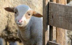 Agneau nouveau-né à la ferme Photographie stock