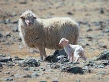 Agneau nouveau-né Photos libres de droits
