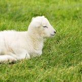 Agneau nouveau-né de source Images libres de droits