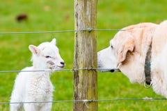 Agneau nouveau-né et crabot de Labrador reniflant chacun transhorizon Images libres de droits