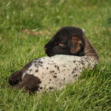 Agneau nouveau-né se reposant sur le pré herbeux Photos libres de droits