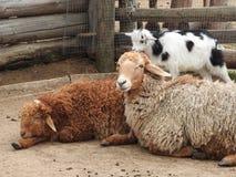 Agneau nouveau-n? jeune Irlande heureuse dans l'agneau vert de moutons de champ photo libre de droits