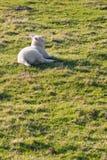 Agneau se trouvant sur l'herbe Photos stock