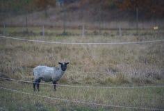 Agneau solitaire à l'intérieur d'une clôture électrique Photographie stock libre de droits