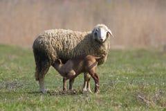 Agneau suçant les moutons Photographie stock libre de droits