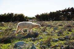 Agneau sur l'île PAG Images libres de droits