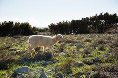 Agneau sur l'île PAG Photographie stock libre de droits
