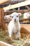 Position très jeune d'agneau à peine, mangeant l'herbe Image stock