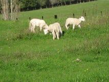 agneaux Images libres de droits