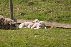 agneaux Photos stock