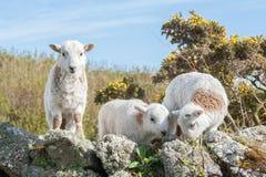 agneaux Image libre de droits