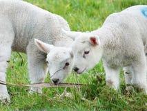 agneaux Image stock