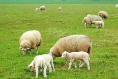 Agneaux avec des moutons Photos stock