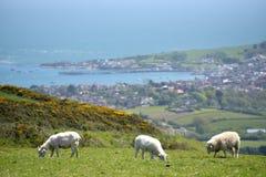 Agneaux dans le domaine en dehors de Corfe Photo libre de droits