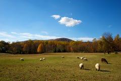 Agneaux dans le pré d'automne Photographie stock