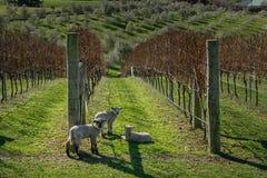 Agneaux dans le vinyard Photo libre de droits