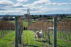 Agneaux dans le vinyard Photo stock
