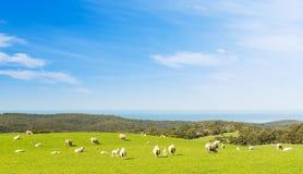Agneaux de moutons Photos stock