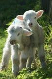 Agneaux de ressort du Hampshire Photos libres de droits