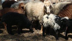 Agneaux et moutons banque de vidéos