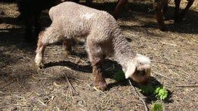 Agneaux et moutons clips vidéos