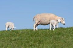 Agneaux et moutons de mère dans le pré hollandais Image stock