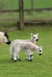 Agneaux jumeaux au printemps image stock