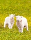 Agneaux jumeaux de bébé dans le pré de fleur Photographie stock libre de droits