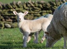Agneaux mignons de ressort, West Yorkshire Image stock