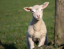 Agneaux mignons de ressort, West Yorkshire Images libres de droits