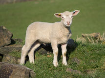 Agneaux mignons de ressort, West Yorkshire Images stock