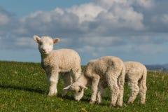 Agneaux mignons frôlant sur l'herbe fraîche Photos libres de droits