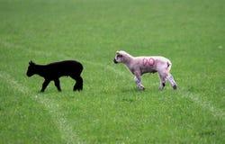 Agneaux noirs et blancs Photographie stock libre de droits