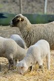 Agneaux nouveau-nés à la ferme Image libre de droits