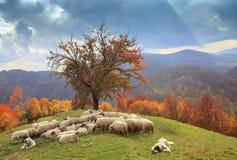 Agneaux pendant l'automne dans les montagnes Photos libres de droits